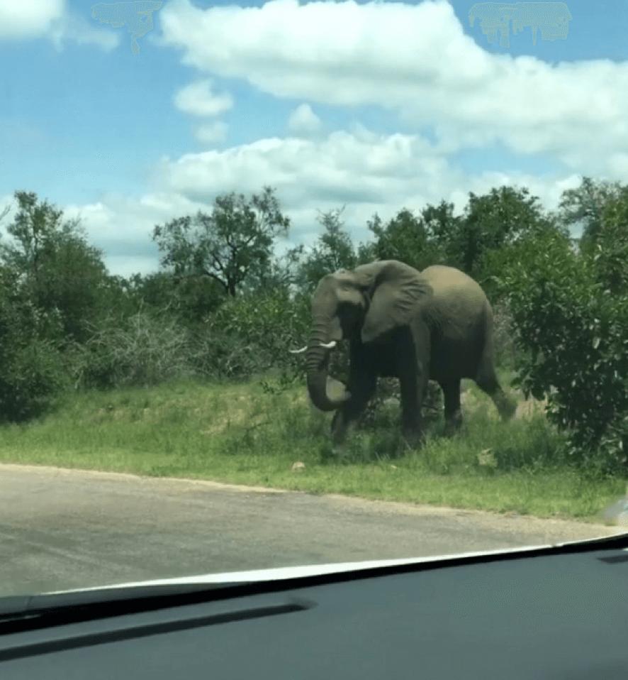 Elefante caminha ao lado da estrada no National Kruger Park.