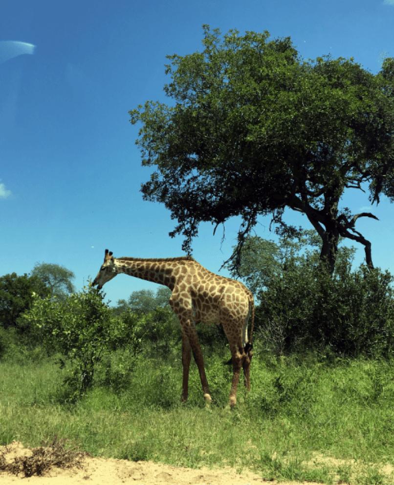 Girafa se alimenta ao lado da estrada no Kruger National Park.