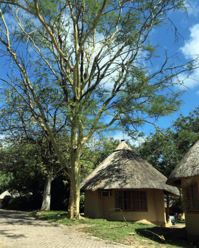 Em meio às arvores, estão dois bungalows com telhado de palha do acampamento Skukuza no Kruger National Park.