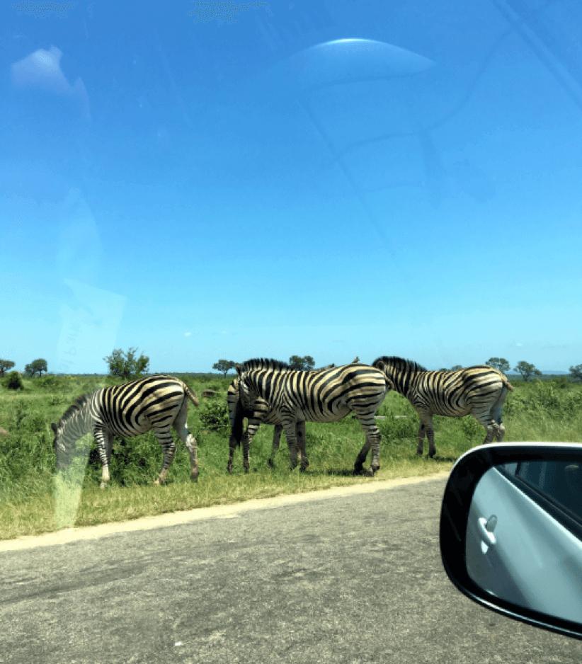 Zebras se alimentam ao lado da estrada no Kruger National Park.